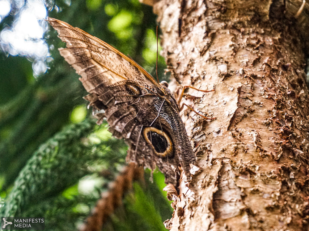 A brown and yellow butterfly camouflaged on a tree  at Butterfly Pavilion in Westminster, Colorado.