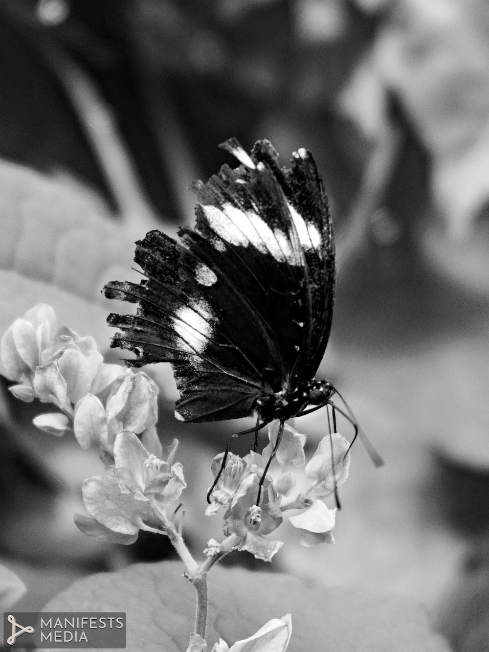 A black and white image of a butterfly with tattered wings  at Butterfly Pavilion in Westminster, Colorado.
