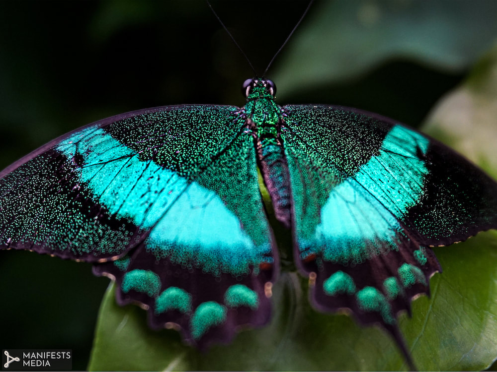An aqua and green butterfly at Butterfly Pavilion in Westminster, Colorado.