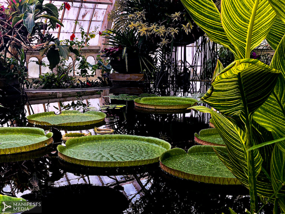 Lush lily pads floating in a pool inside the San Francisco Conservatory of Flowers.